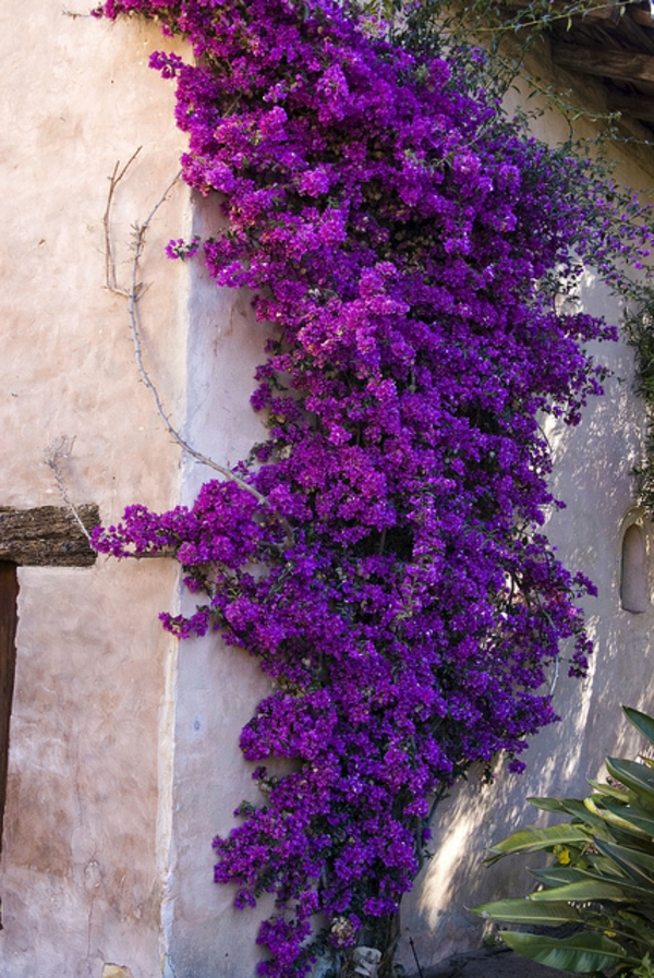 Bougainvillea μωβ-to-the-wall-ορειβάτη