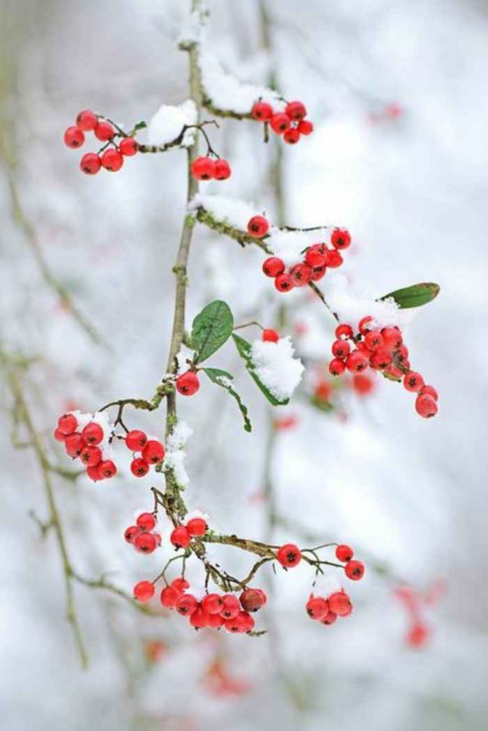 Fotos románticas de inverno Berry berry ilustración
